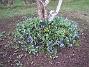 Vårstjärna. (2006-04-30 Bild 015)