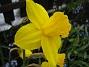 Påskliljor. (2006-04-30 Bild 025)