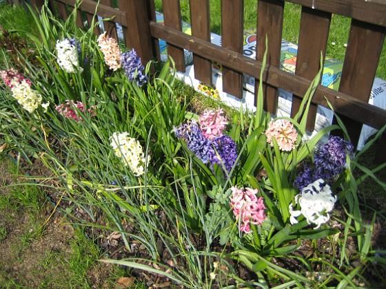 Hyacinter De sprider en underbar doft, som känns redan när man kliver ur bilen.&nbsp 2006-05-11 Bild 006 Granudden Färjestaden Öland