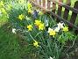 Påskliljor  2006-05-11 Bild 008