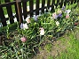 Hyacinter  2006-05-11 Bild 013