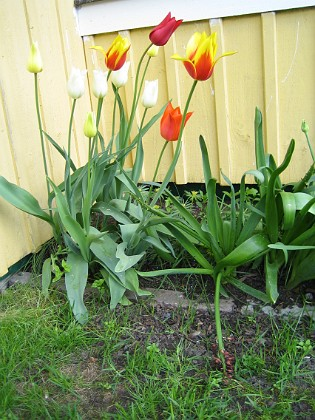 Liljeblommiga Tulpaner &nbsp 2006-05-25 Bild 012 Granudden Färjestaden Öland