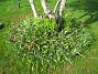 Tulpaner  2006-05-25 Bild 002