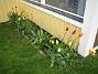 Liljeblommiga Tulpaner  2006-05-25 Bild 008