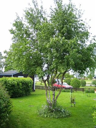 Björken &nbsp 2006-06-06 Bild 029 Granudden Färjestaden Öland
