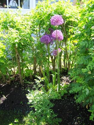 Allium Purple Sensation  2006-06-11 Bild 001 Granudden Färjestaden Öland