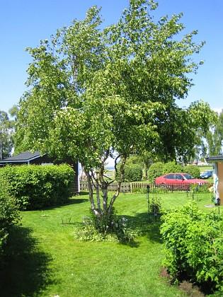 Björken &nbsp 2006-06-11 Bild 002 Granudden Färjestaden Öland