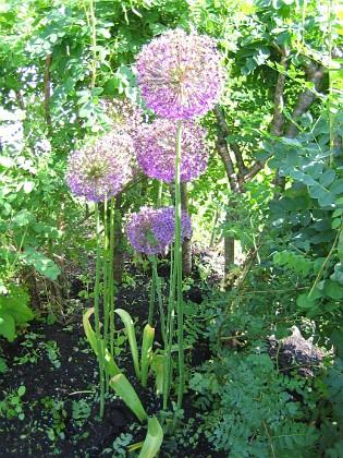 Allium Purple Sensation  2006-06-20 Bild 015 Granudden Färjestaden Öland