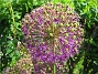 Allium 'Purple Sensation'  2006-06-20 Bild 016