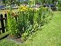 Liljor  2006-07-02 Bild 009