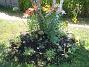 Liljor  2006-07-16 Bild 023