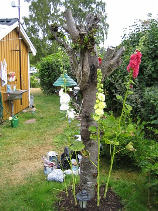 Stockrosor &nbsp 2006-07-21 Bild 017 Granudden Färjestaden Öland