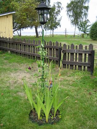Gladioler  2006-08-19 bild 011 Granudden Färjestaden Öland