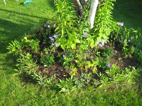 Runt björken börjar mina Astrar blomma. 2006-09-02 Bild 001 Granudden Färjestaden Öland