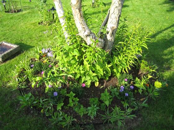 Tio nya Nattljus sattes för två veckor sedan. De nya har börjat blomma! 2006-09-02 Bild 002 Granudden Färjestaden Öland