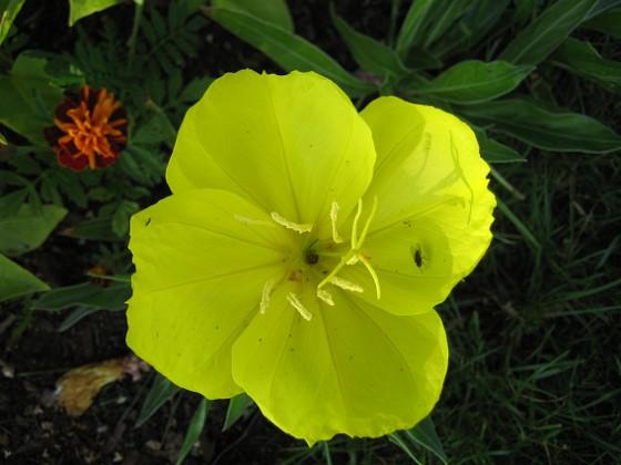 Nattljus { Så här vacker blir blomma hos Nattljus. }