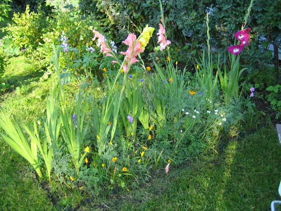 Gladioler Vackra Gladioler. 2006-09-02 Bild 022 Granudden Färjestaden Öland