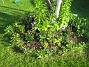 Runt björken börjar mina Astrar blomma. (2006-09-02 Bild 001)