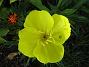 Så här vacker blir blomma hos Nattljus. (2006-09-02 Bild 004)