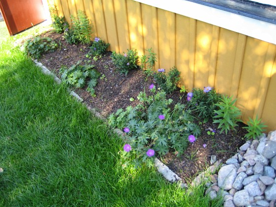 Astrar Vid altanen har jag planterat lite Astrar, som dock inte har börjat blomma ännu. I förgrunden syns Blodnäva. 2006-09-23 Bild 011 Granudden Färjestaden Öland