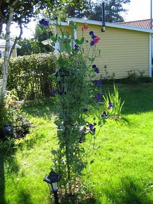 Luktärt Bilden visar en av mina kamerastolpar. Här växer det Luktärt. 2006-09-23 Bild 012 Granudden Färjestaden Öland