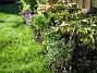 Astrar Ytterligare en närbild över Astrar, Staket vänster. I förgrunden ser du Aster Dumousus (Oktoberaster) 'Starlight'. 2006-09-23 Bild 004