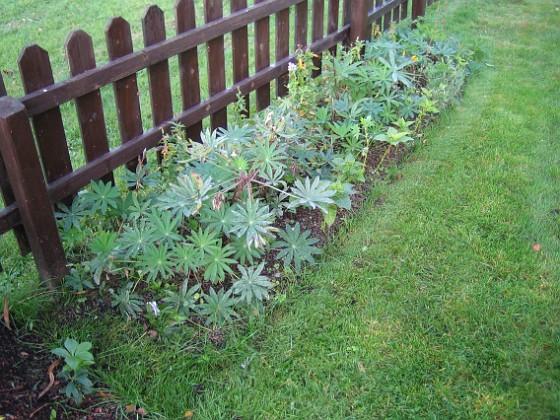 Lupiner { Intill staketet finns en frörabatt, där det fn syns mest blad av Lupin. }