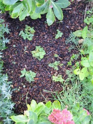 I mitten visar jag bild på mina nyplanterade Bergamott. 2006-10-14 Bild 009 Granudden Färjestaden Öland
