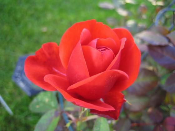 Ros Min rosbuske gav nästan med sig efter regnet i augusti. Den tappade alla blad. Men nu har den börjat blomma igen.&nbsp 2006-10-14 Bild 022 Granudden Färjestaden Öland