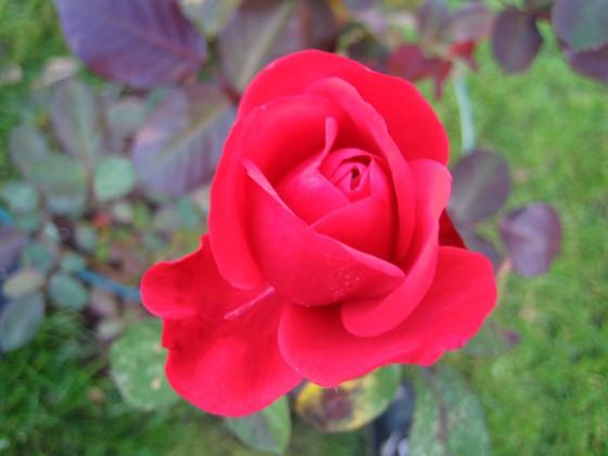 Ros Min rosbuske gav nästan med sig efter regnet i augusti. Den tappade alla blad. Men nu har den börjat blomma igen.&nbsp 2006-10-14 Bild 023 Granudden Färjestaden Öland