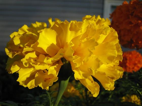 Tagetes Dessa Tagetes i höstsol blir verkligen vackra i närbild. 2006-10-14 Bild 028 Granudden Färjestaden Öland