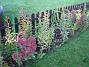 Vid staketet, höger om grinden, syns resterna av mina vackra liljor. Här finns Kärleksört i full blom, samt lite Sidenört. (2006-10-14 Bild 006)