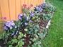 Framför altanen visar jag upp mina vackra Astrar: Alma Pötschke, Jenny, Early Blue. Mellan dessa har jag planterat Trädgårdsnejlika. Framför dessa ytterligare en rad med blandade Astar från Bakker. Du ser även Blodnäva i förgrunden. (2006-10-14 Bild 014)