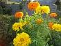 Tagetes Dessa Tagetes i höstsol blir verkligen vackra i närbild. 2006-10-14 Bild 033