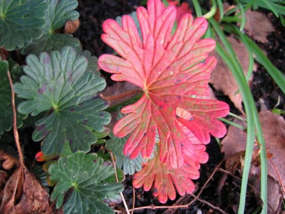 Blodnäva I närbild ser vi här ett par blad från Blodnäva.&nbsp 2006-11-26 Bild 019 Granudden Färjestaden Öland