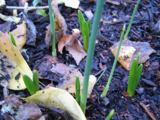 Staket höger. Lite Iris (?) på väg upp. Kan även vara Påskliljor??? 2006-11-26 Bild 029 Granudden Färjestaden Öland