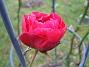 En enda utslagen ros har jag kvar. (2006-11-26 Bild 015)