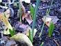 Staket höger. Lite Iris (?) på väg upp. Kan även vara Påskliljor??? (2006-11-26 Bild 029)