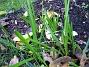 Staket höger, jag undrar vad detta är: Iris eller Påskliljor. (2006-11-26 Bild 030)