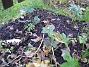 Staket höger, detta är några Julros, Helleborus Orientalis. (2006-11-26 Bild 033)