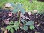 Staket höger, ytterligare en Julros, Helleborus Orientalis. (2006-11-26 Bild 034)