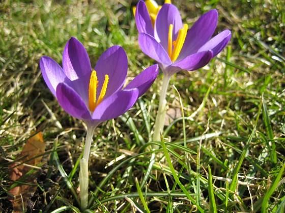 Krokus &nbsp 2007-03-10 Bild 047 Granudden Färjestaden Öland
