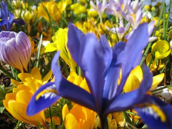 Iris och Krokus {  }