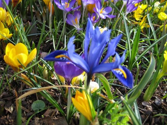 Iris och Krokus &nbsp 2007-03-17 Bild 050 Granudden Färjestaden Öland