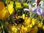 Krokus  2007-03-17 Bild 042