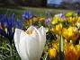 Krokus  2007-03-17 Bild 043