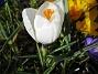 Krokus  2007-03-17 Bild 044