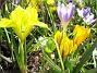 Iris och Krokus  2007-03-17 Bild 052