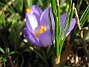 Krokus  2007-03-17 Bild 054