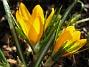 Krokus  2007-03-17 Bild 056
